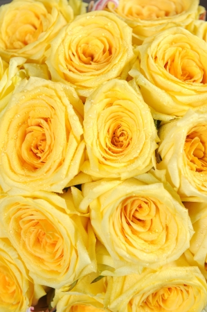 yellow rose close up photo