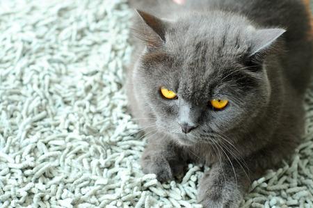 grey eyed: cute cat