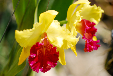Orchid in nature -yellow and red