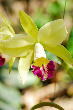 close up yellow Orchid in garden