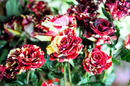 red white and yellow striped roses