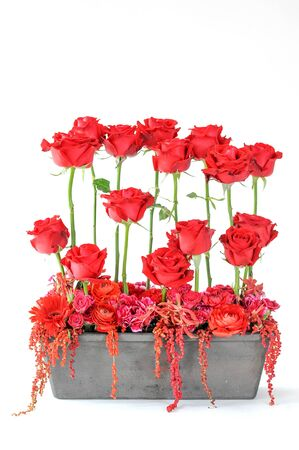 red roses on pot isolated on white background Stockfoto