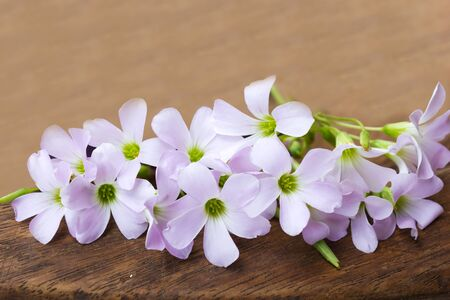oxalidaceae: Purple flower on wooden background.Indian park. Stock Photo