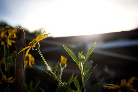 contrast: Jerusalem artichoke. Yellow topinambur flowers with rim light. Hight contrast and dark vignette style.