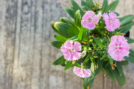 herbaceous  plant: China Pink, Indian Pink flower. With cement background. Herbaceous plant. Stock Photo