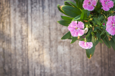 herbaceous: China Pink, Indian Pink flower. Cement background with dark vignette. Herbaceous plant.