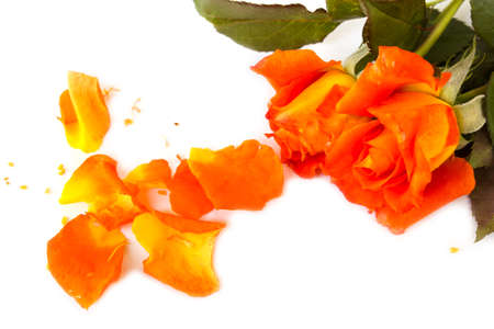 lovelorn: Orange rose crushed and leaves on white background.