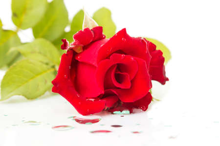 waterdrop: Fresh red rose on white background. With waterdrop.