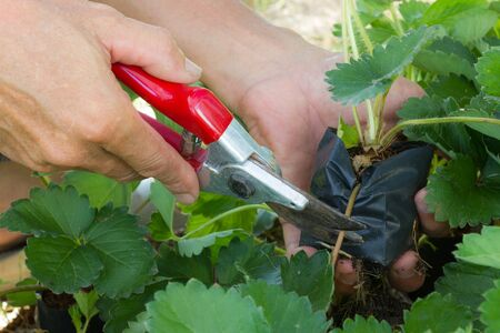 Man using shear cutting sprout of strawberry plant.