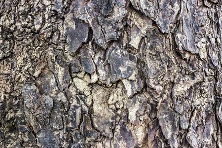 bark rain tree: Bark of rain tree. Stock Photo