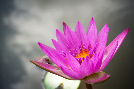 Purple lotus blooming in a pound. Aquatic plant. Tropical flower. Symbolic of Zen or Buddhism. Nature background. Dark vignette and copy space.