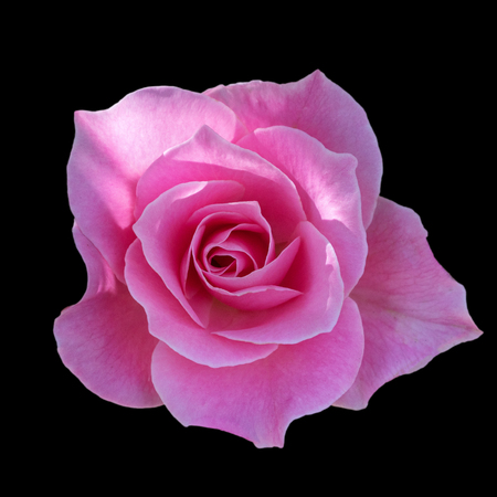 Dark pink roses background, Pink rose isolated on black background, Greeting card with a luxury roses, Image dark tone