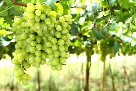 Bunches of grapes photo