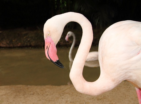Pink Flamingo  in Khao Kheow open Zoo Chonburi,Thailand Stock Photo - 21924684