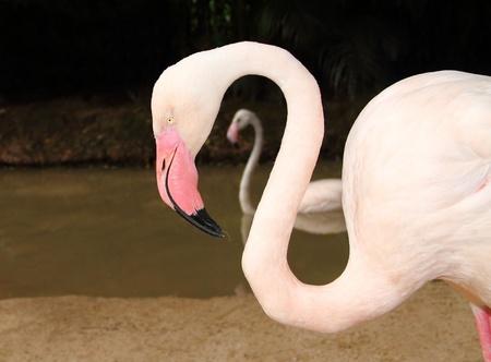 Pink Flamingo  in Khao Kheow open Zoo Chonburi,Thailand Stock Photo - 21924684