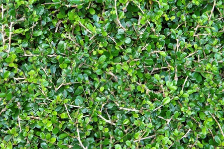 bois �b�ne: Ebony arbre vert est fond
