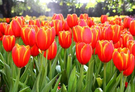 Orange Tulips in Botanic Garden photo