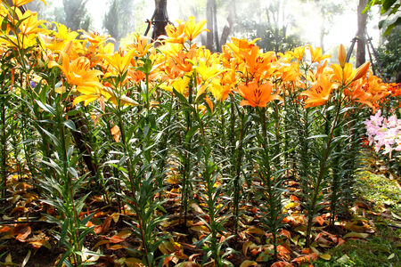 oranje lelie: Oranje Lelie Bloem in Botanische Tuin Stockfoto
