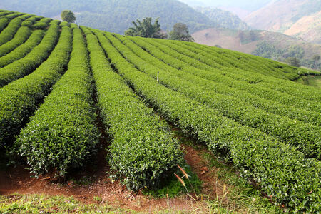 tea plantation in the north of Thailand photo