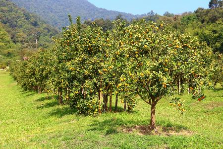 Orange boomgaard Ranch in het noorden van Thailand