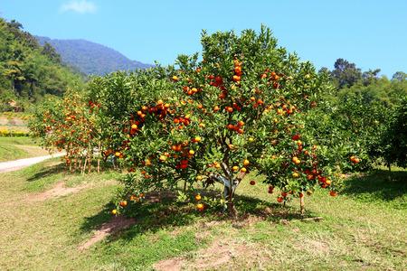 Orange orchard Ranch in northern Thailand  photo