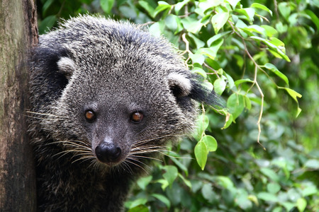 civet cat: Rare wild animals Bear Cat Stock Photo