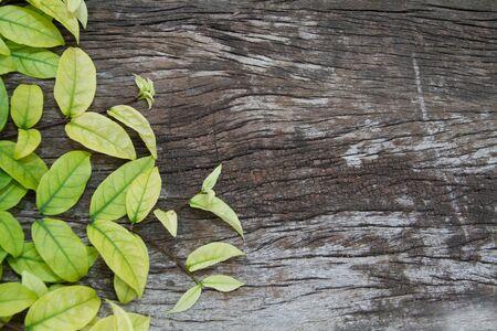 hojas antiguas: Hojas verdes y amarillas sobre fondo de madera vieja
