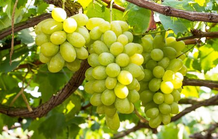 growers: Bunches of green grapes in vineyard