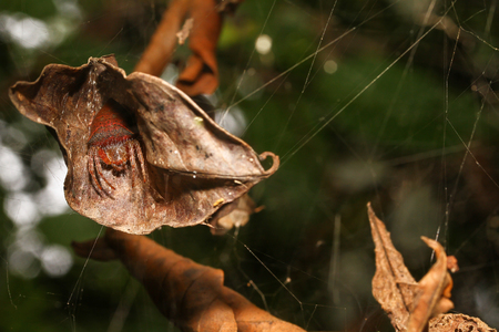 eight legs: Cyrtophora spider On dry leaves