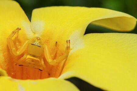 crab spider: Macro of yellow crab spider