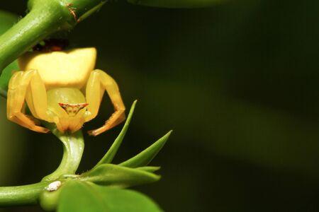 Macro of yellow crab spider