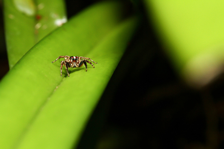The Jumping spiders  on green leaf Stok Fotoğraf
