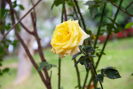 yellow rose flower in the garden