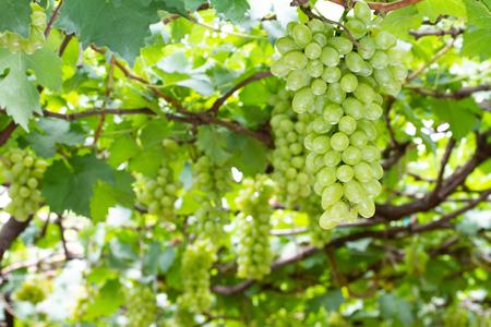 A bunch of green grapes in a vineyardin a vineyard Stok Fotoğraf