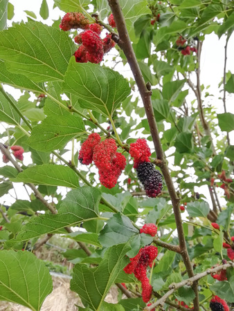 Red mulberry bunches in the garden