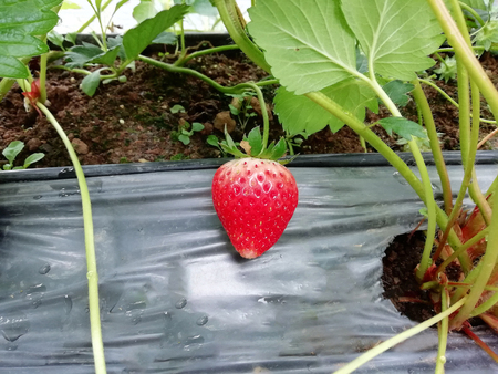 Strawberry fruit in the garden plot 版權商用圖片