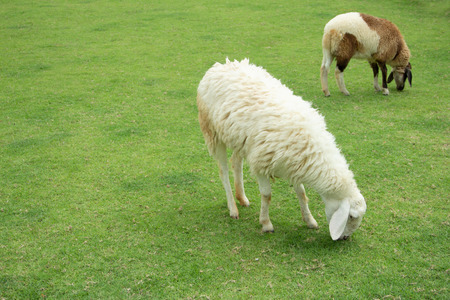 The sheep eat grass in the pasture