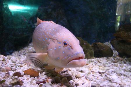 Leopard grouper Marine fish blue spots
