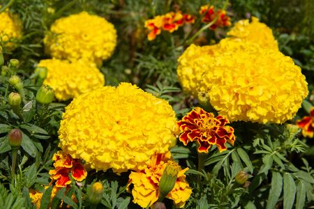 Marigolds and French Marigolds in the garden
