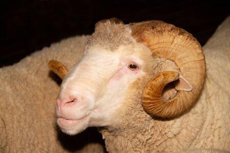 Merino sheep on black background