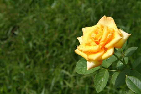yellow rose on green background have water drops