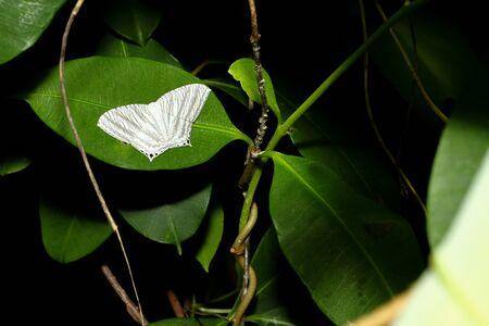 White butterfly, flattened wings