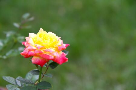 yellow and pink rose on green background Stok Fotoğraf