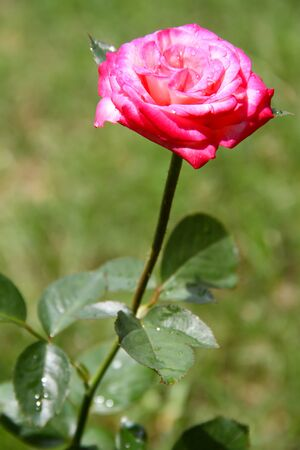 pink rose  have water drops on top on green background