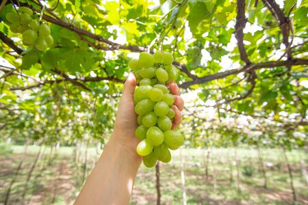 Bunches of green grapes in vineyard on hand