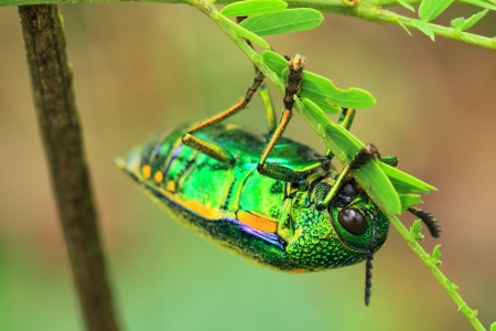 Jewel beetle photo