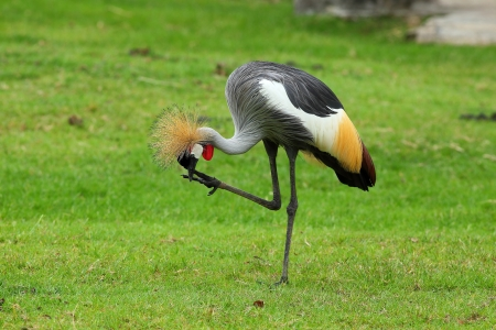 Grey Crowned Crane photo