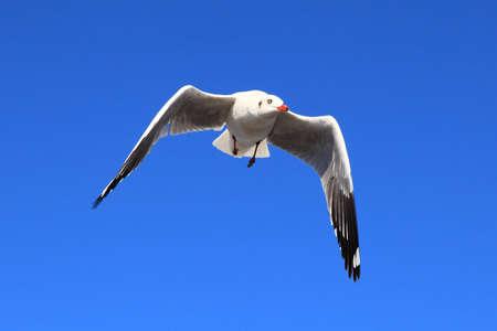 wingtips: Seagull Stock Photo