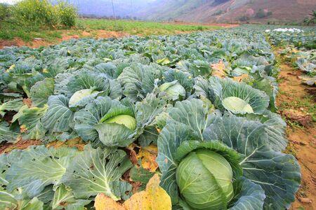 Biggest Cabbage Field in Thailand. Phetchaboon, North of Thailand photo