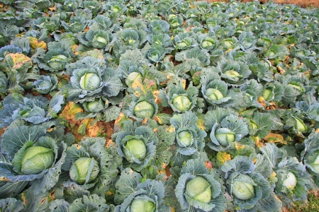 rowth: Biggest Cabbage Field in Thailand. Phetchaboon, North of Thailand Stock Photo